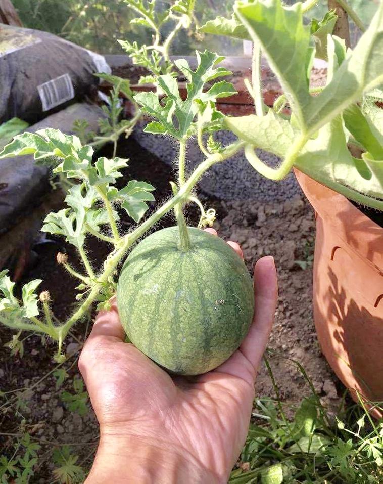 melon i dansk drivehus