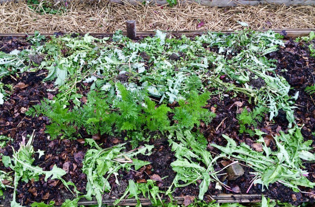 gulerødder jorddække køkkenhave
