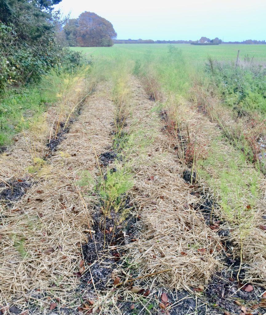 aspargesbed bunddække ålegræs