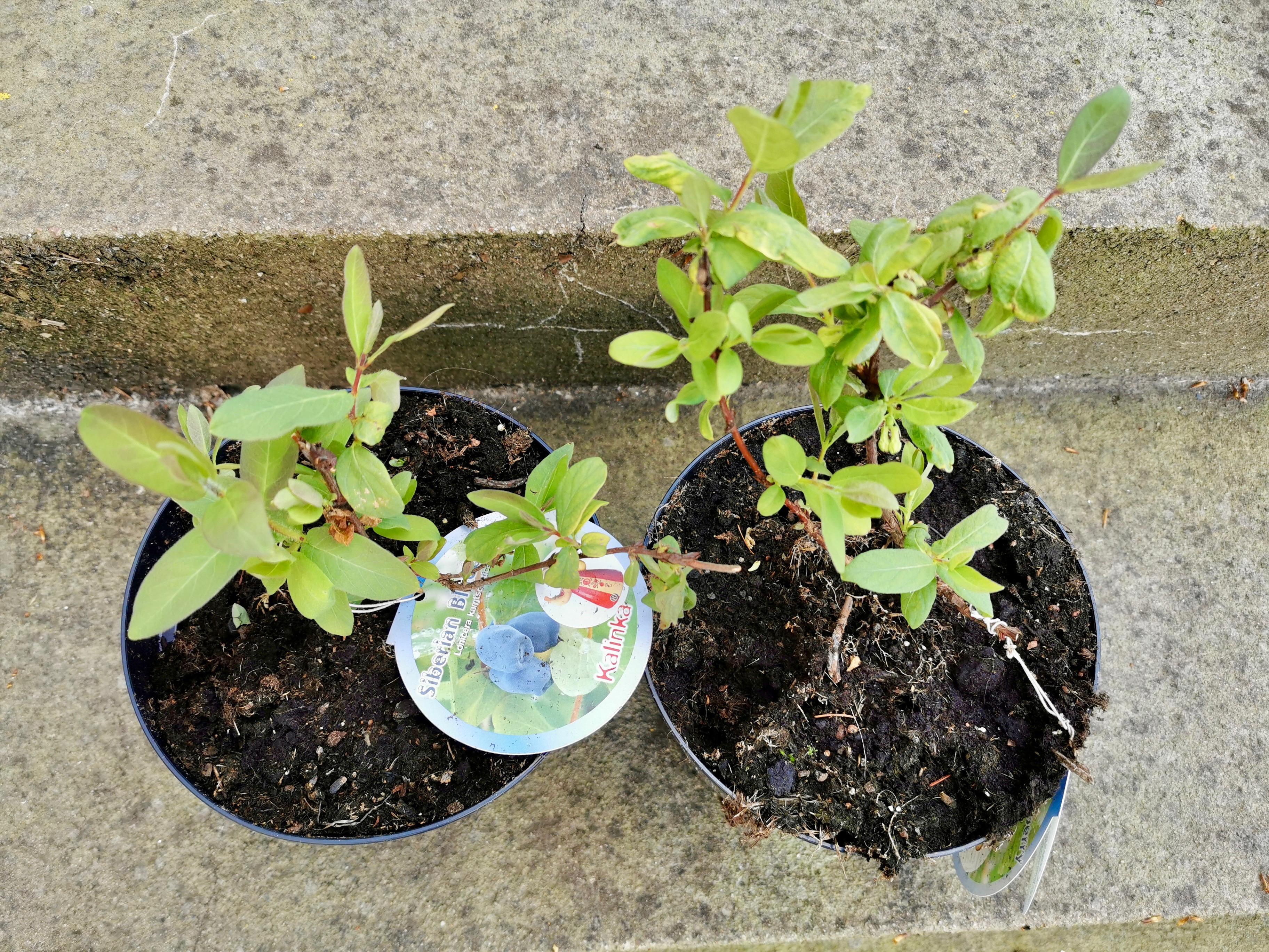 honningbær planter fra naturplanteskolen