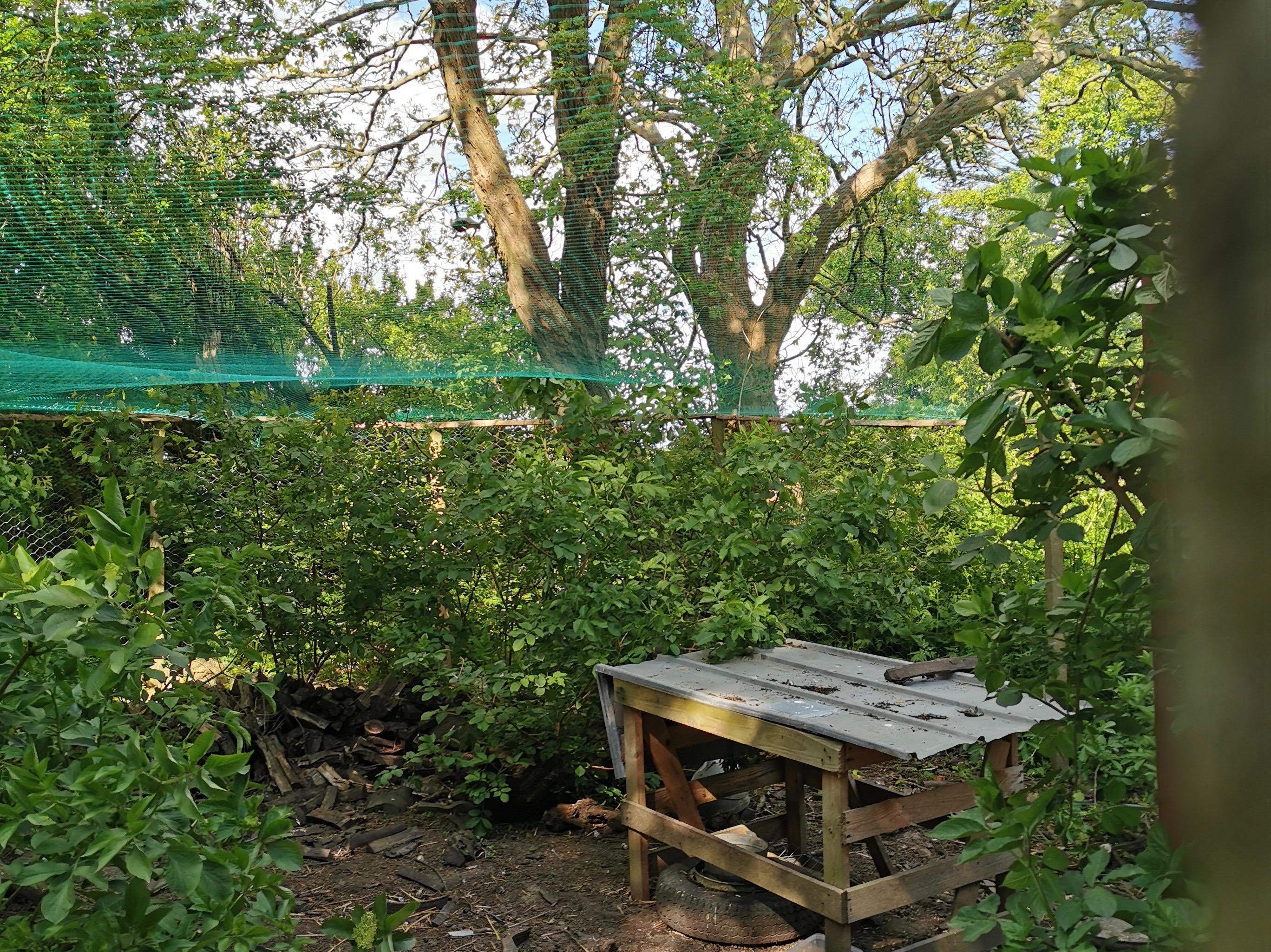 Frugttrænet som beskyttelse mod rovfugle