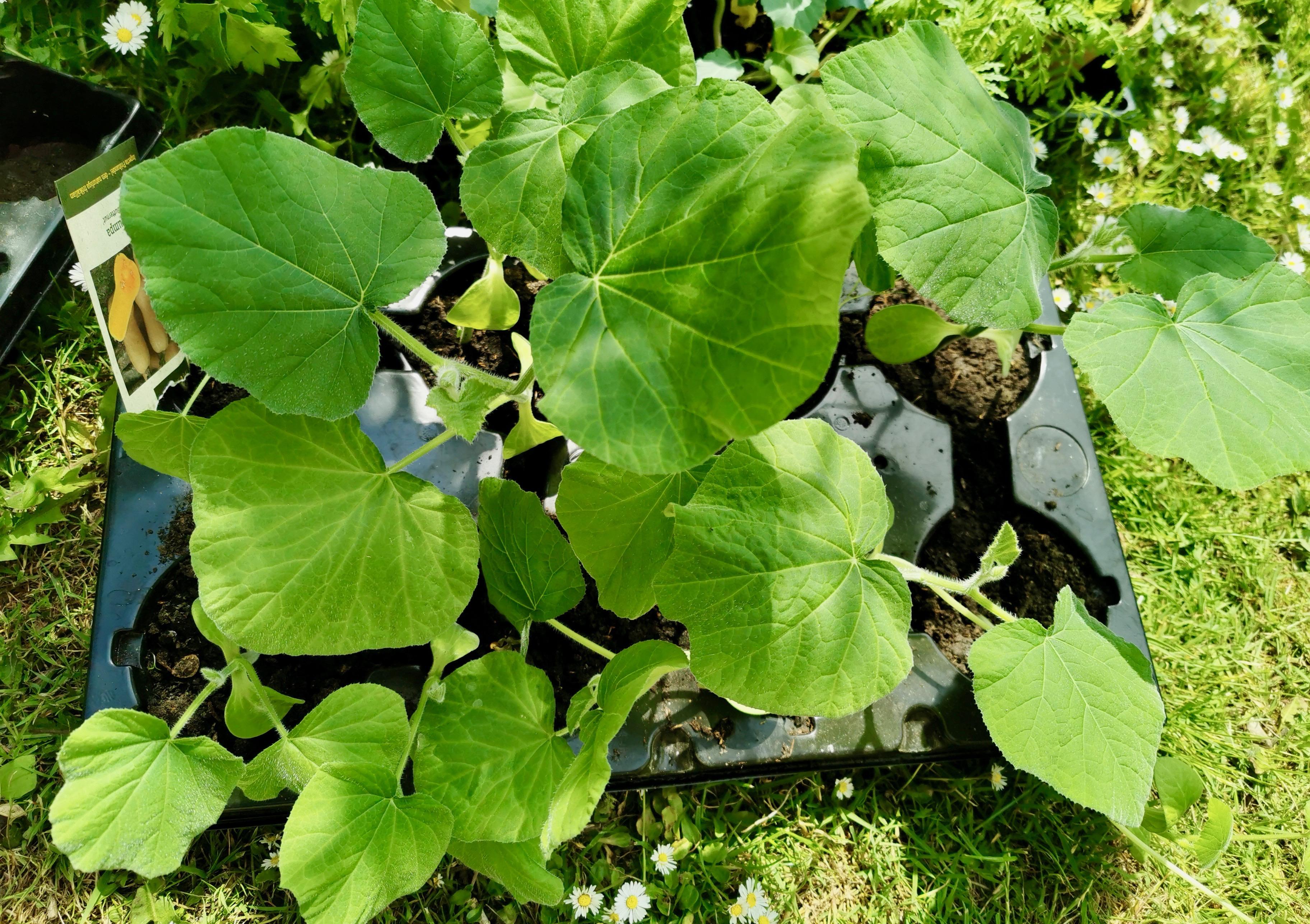 Græskarplanter til udplantning.