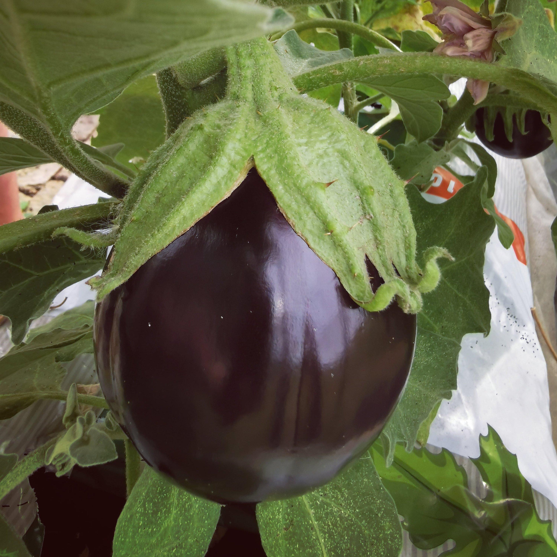 aubergine i drivhuset