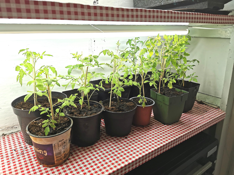 Dyrke tomatplanter indedørs.