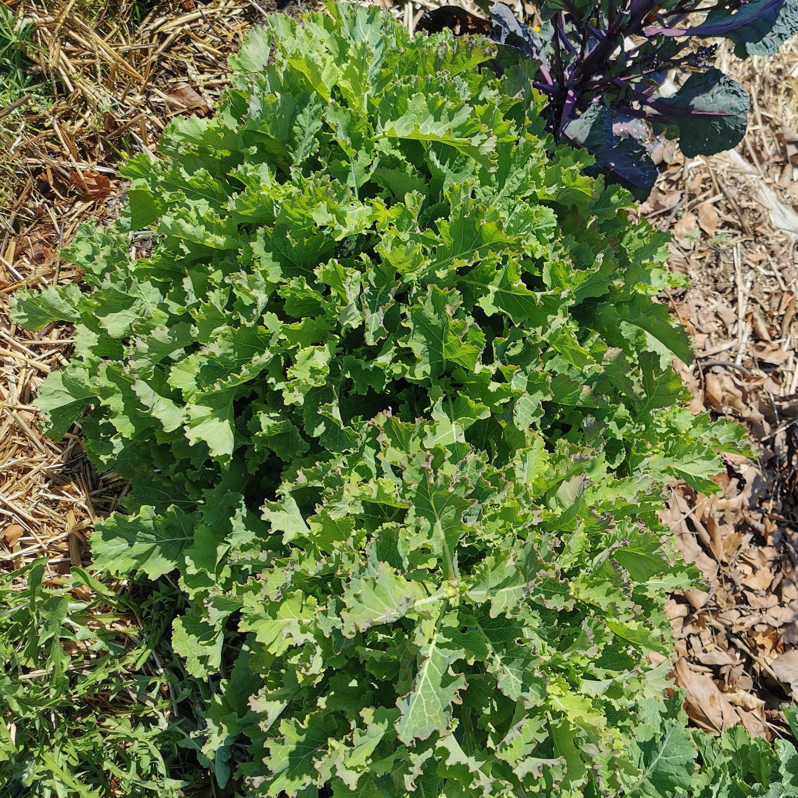 Flerårig daubenton grønkål